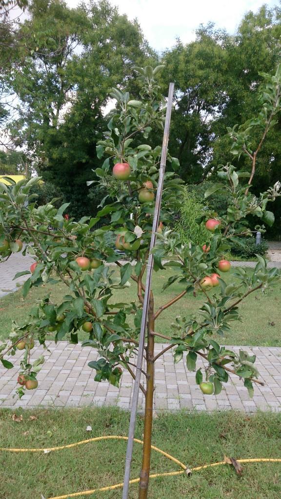 almát is szüretelünk